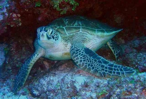 facts about sea turtle 500x337 Sea Turtle Facts For Kids | How Long Do Sea Turtles Live