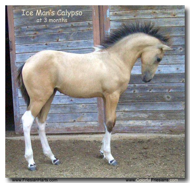 this horse is sooooooo pretty For Sale, buckskin Friesian cross filly by Ice Man of www.ColorfulFries...