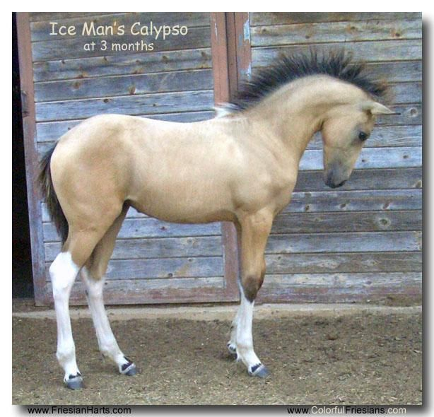 this horse is sooooooo pretty For Sale, buckskin Friesian cross filly by Ice Man of www.ColorfulFries...