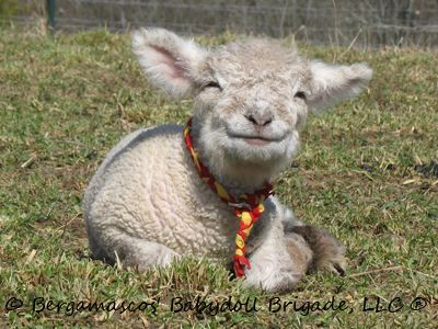 Baby doll sheep - LOVE THEM!