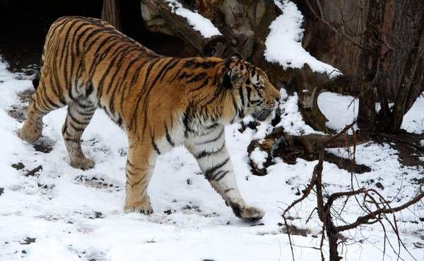 Tigre siberiana tra le nevi dello zoo di Lipsia, Germania - Curiositá - ANSA.it