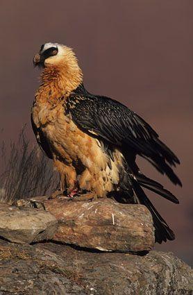 Lammergeier (Bearded Vulture), Gypaetus barbatus, Giant`s Castle, Drakensberg, KwaZulu-Natal, South Africa (26120)