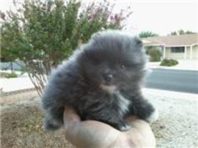 rare blue pom puppy