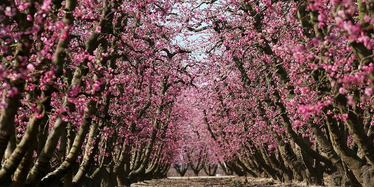 Spring tends to kick off early in Fresno County with a fast-and-frenzied spectacle of blooming fruit and nut trees.