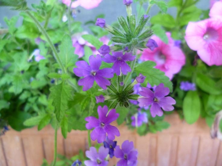 Las pequeñas flores de la verbena.