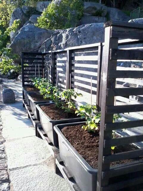 Snyggt och enkelt sätt att odla på. Murarbaljor på rad i ett vindskydd.