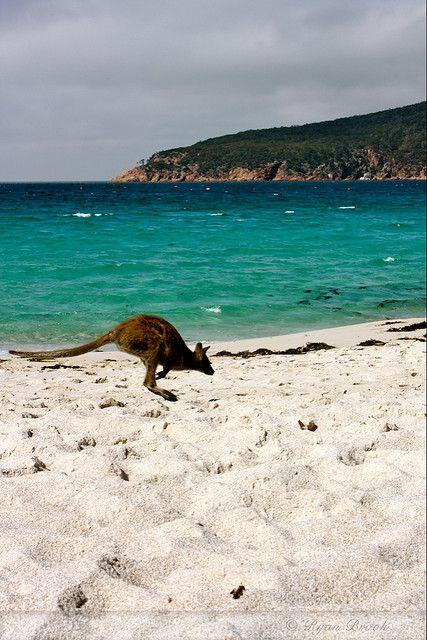 Wineglass Bay, Australia - Wallaby