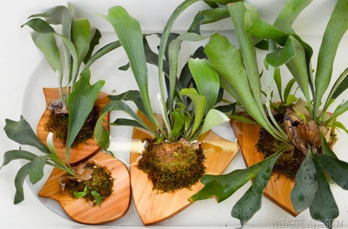 Vintage Revivals | How to Mount (and Care for) a Staghorn Fern