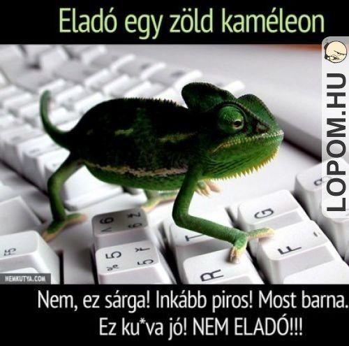 A kaméleon NEM ELADÓ!!!!
