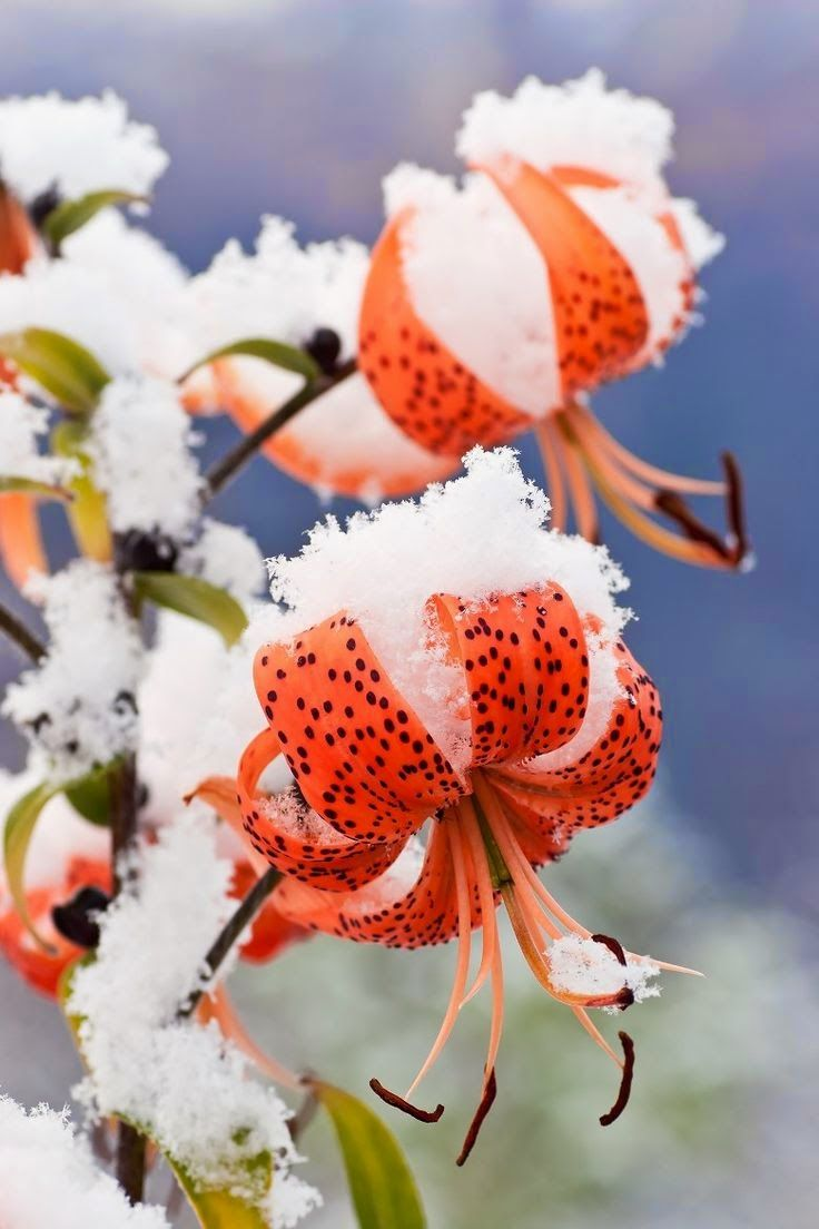 25 best frozen flowers images on pinterest winter nature and spring first snowfall of the season covers late blooming tiger lillies in in eagle river in southcentral alaska izmirmasajfo Images