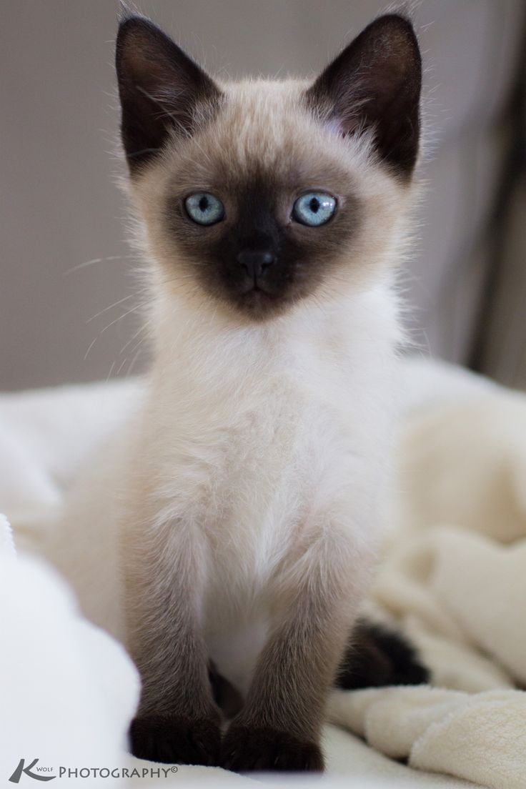 Los gatos siameses son de carácter fuerte pero muy tiernos y dulces a la vez