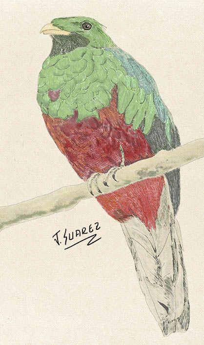 Ilustración Digital Quetzal Sierra Nevada de Santa Marta