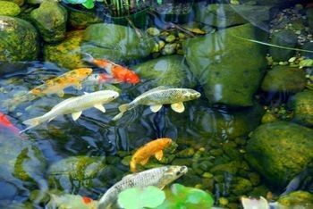 1000 images about diy pond ideas water gardens for Koi pond construction cost