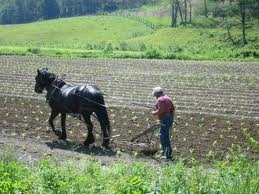 Plowing the field-my Grandpa would only plow with a mule-I used to wake up with him in the garden saying gee or ha!  Wonderful memories!