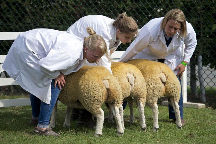 Esaminazione delle pecore al Grande Show di Yorkshire, Inghilterra.