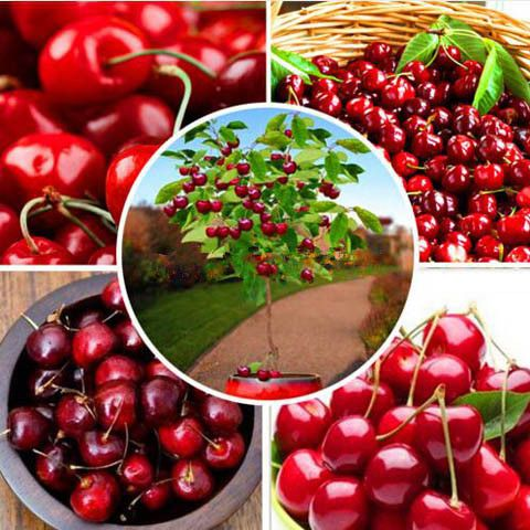 10pcs/Bag Red Cherry Bonsai Seeds