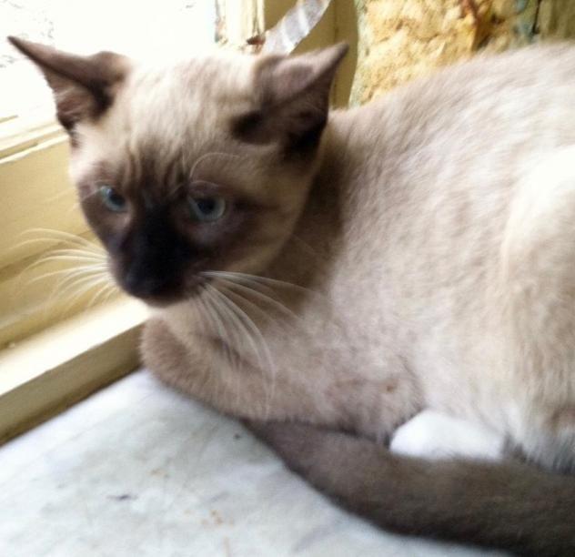 Adopt A Siamese Cat Nj