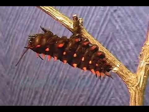 Van eitje tot vlinder - YouTube