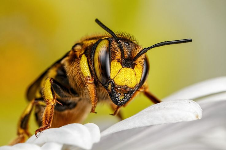 Wool Carder Bee Series 2-1 by dalantech on DeviantArt