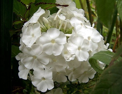 David Hardy Tall Phlox - Perennial of the Year 2002 - Quart Pot >>> Check out this great product.