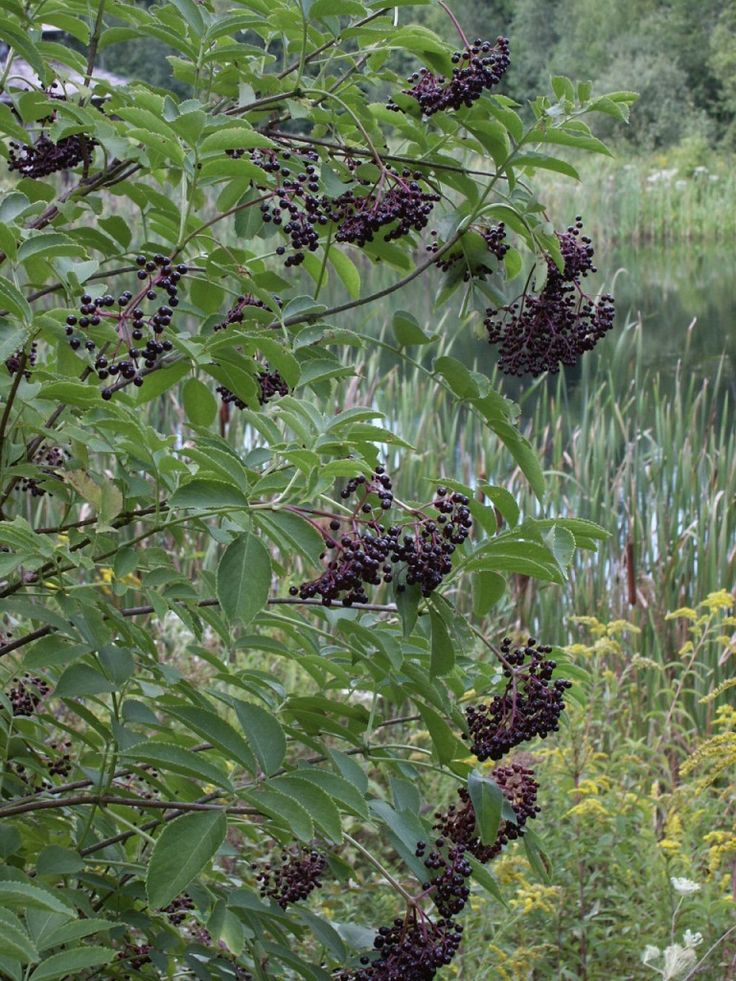 Grow Your Own Food – Edible Native Plants for New England