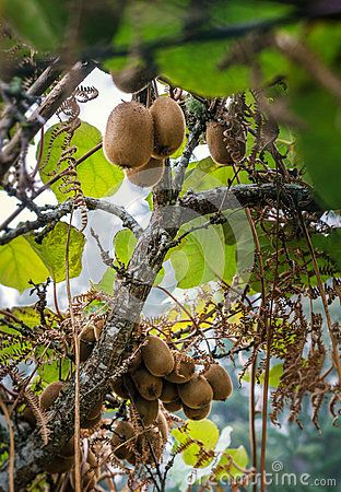Kiwi fruits growing tree