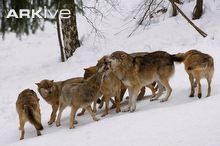Pack of Eurasian wolves greeting