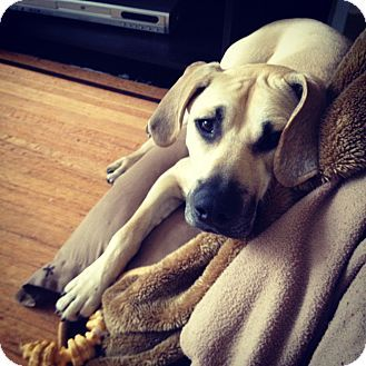 interesting breed-this one also in need of rescue-Blackmouth Cur
