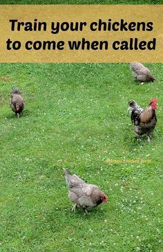 How to train your chickens to come when called!