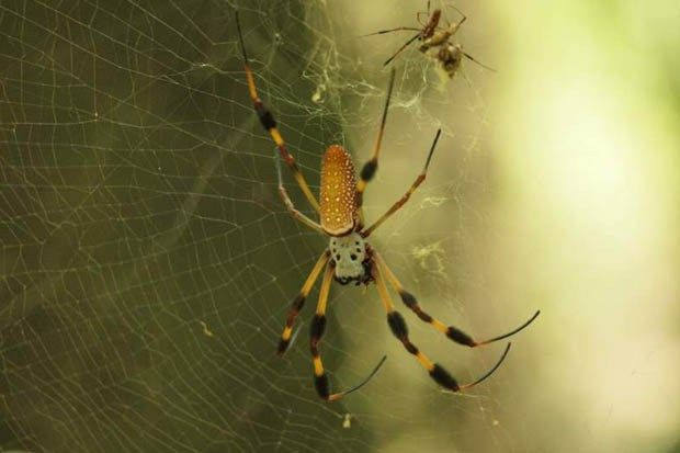 Stong, thermal conductivity and catches flies. Impressive little spiders. http://www.wired.co.uk/news/archive/2012-03/07/spider-silk-conducts-heat