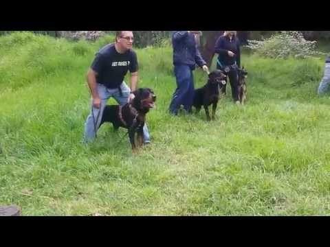 Clase de Guardia y Proteccion en Jauría - YouTube