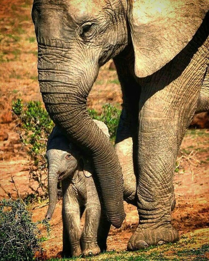 1709 best gods love elephants images on pinterest baby elephants last and final one from sa loved this little guy taking shelter under his mum from the midday heat publicscrutiny Gallery