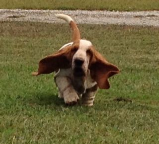 We are a family breeder of AKC Basset Hound Puppies.