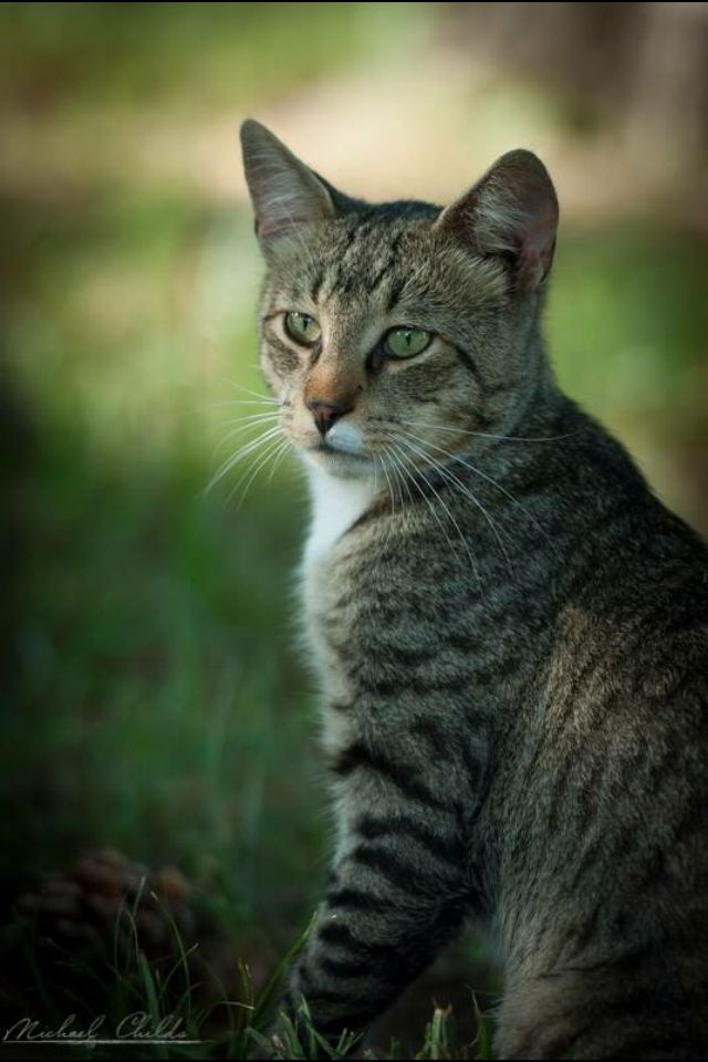 1000  ideas about tabby cats on pinterest
