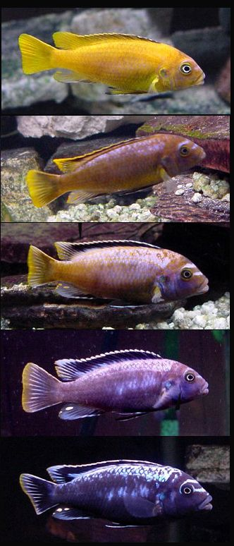 33 best lake malawi cichlids images on Pinterest African