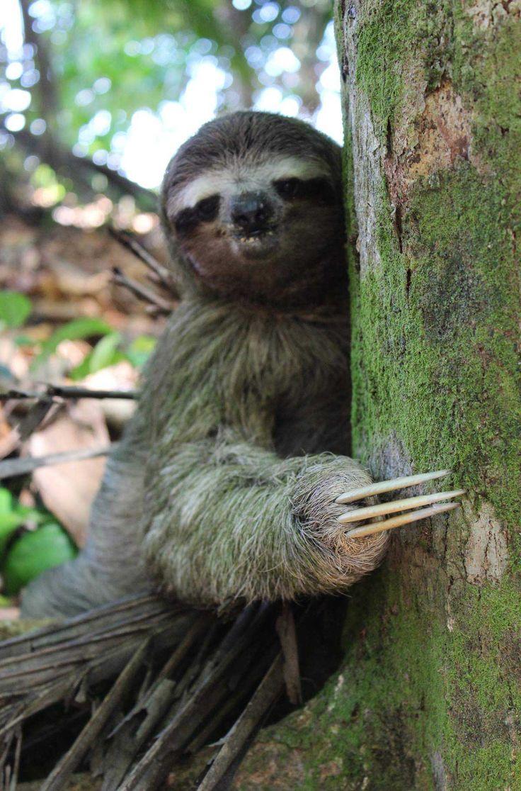 Fotos de viagem à Costa Rica: A preguiça é um dos bichos típicos desse país da América Central e é encontrado nos parques nacionais. Veja as imagens desse país que é rodeado de praias lindas e ainda conta com florestas e vulcões.