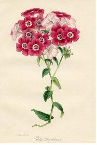Phlox Botanical