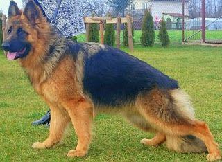 Hodowla owczarków niemieckich długowłosych w Radomiu: Owczarek niemiecki długowłosy - informacje o naszej hodowli
