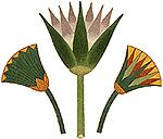 Ancient Egyptian Lotus | the lotus flower the lotus closes at night and then sinks underwater ...