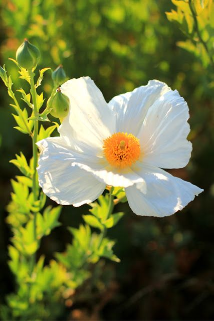White Cosmos Flower Photo by @MlleMermaid is featured from Aquariann's #FlowerFriday hop!