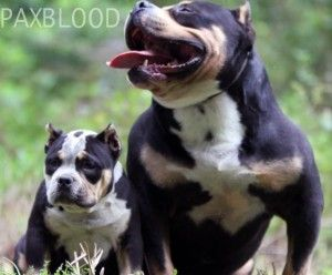 BOOM PAXBLOOD NEW GENERATION EXOTIC TRICOLOR BULLY
