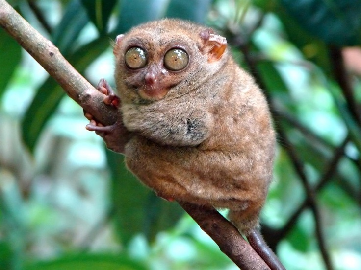 funny animals: Coff, Animals, Funny Animal Pictures, Creepers, Art, Trees Branches, Tarsier, Funny Stuff, Eye