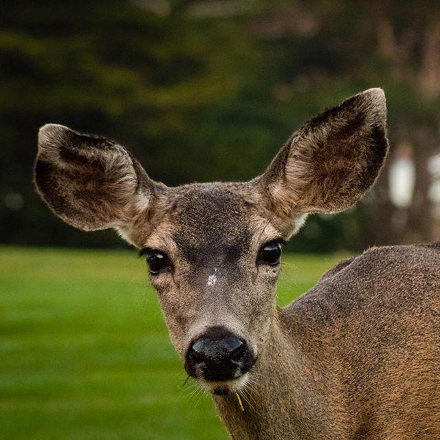 Veado-mula black-tailed mule deer Odocoileus hemionus columbianus Pacific Grove, CA, USA #fauna #wildlife #nature #biofaces #natgeo #nature_brilliance #thenaturehub #biodiversity #bestnatureshot #splendid_nature #pacificgrove #california  #17thmiledrive #seventeenmiledrive #mammals #mamiferos #montereylocals #pacificgrovelocals- posted by Eden Fontes https://www.instagram.com/edenfontes. See more of Pacific Grove, CA at http://pacificgrovelocals.com
