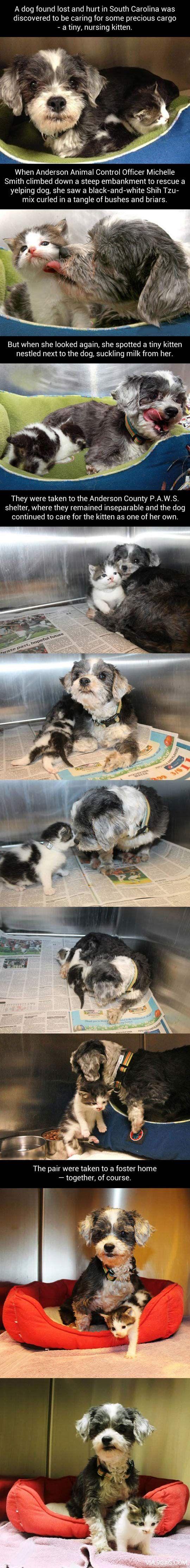 Dog caring for kitten