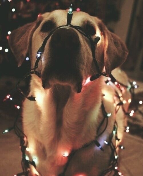 Imagen de dog, christmas, and light