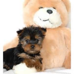 teacup yorkie puppies for adoption - Bing Images