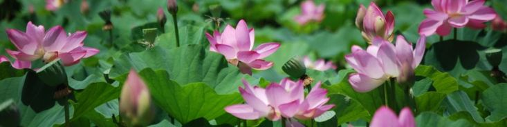 Kenilworth Park & Aquatic Gardens - Lotus Flower