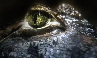 Crocodile Eye (click to view)