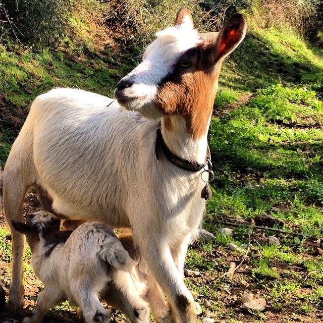 Chissà se ci accompagneranno anche loro nelle nostre escursioni. #Agriturismo #IlLeopoldino #Pugnano #Capre