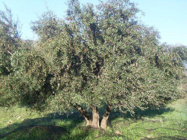 """Βιολογικό Ελαιόλαδο - Κτήμα Οικ. Κατσάνη: """" Η ιστορία της ελιάς και το λιοδεντρο """""""